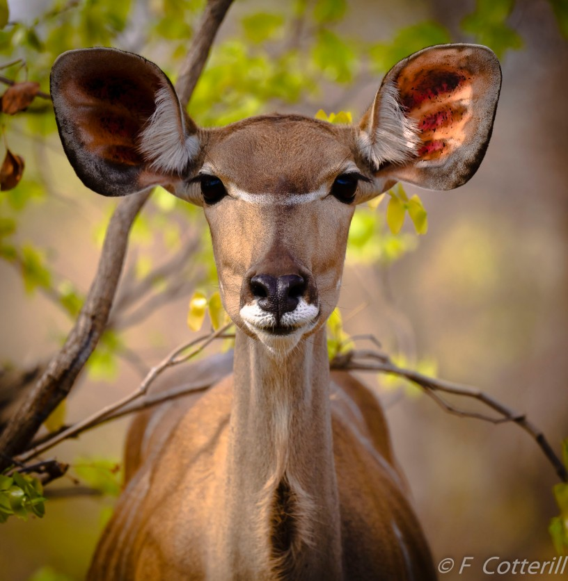 best faceon_southern Kudu Cow portrait rd 500 f5.6E PF-3614